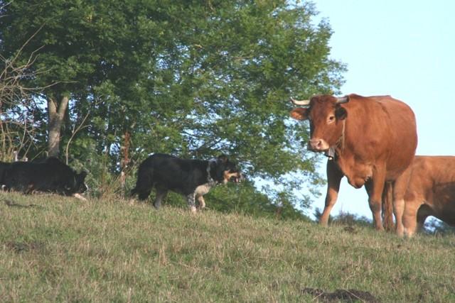 Acker et Gyp (son fils) :travail sur bovin