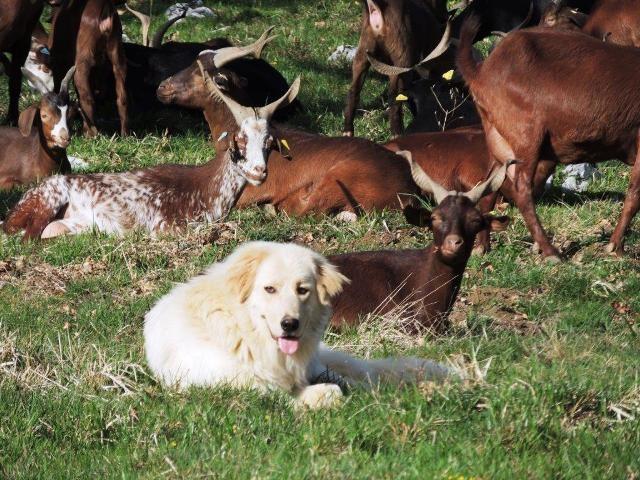 Hadja veille sur ses chèvres au repos