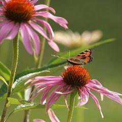 Echinacea - Igelkopf; das natürliches Antibiotikum