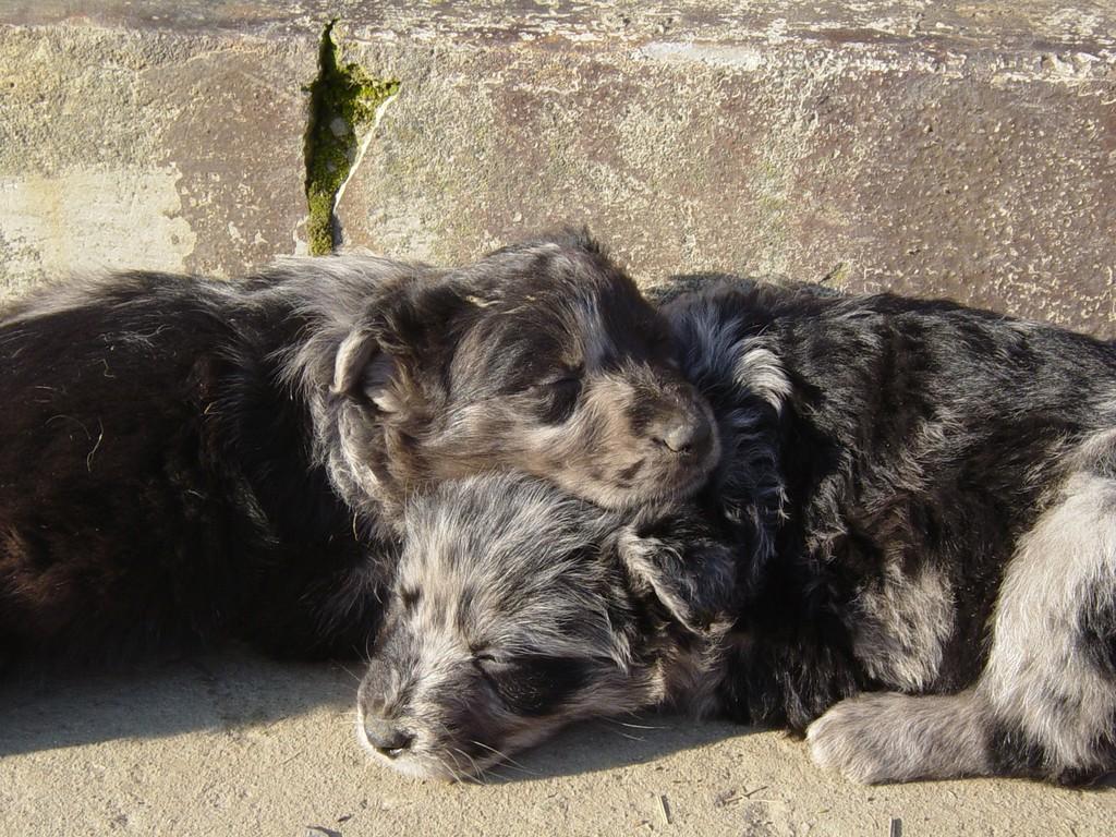 news - canedioropa cane da pastore biellese