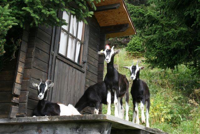 Besuch aus dem Tal; Ziegen von Fam. Bonet Martin