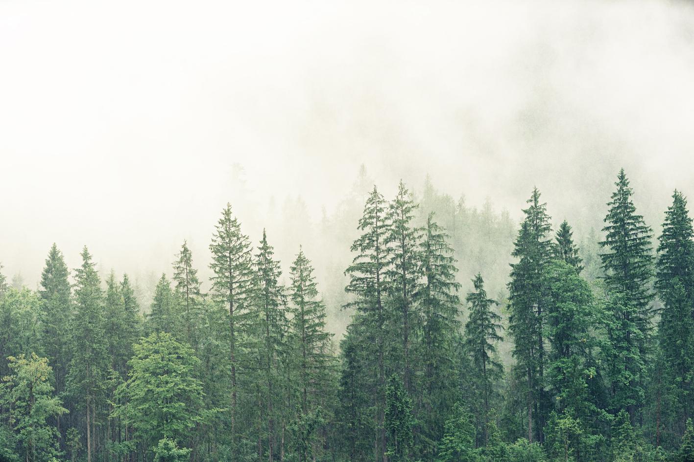 Bosco di pini con nebbia