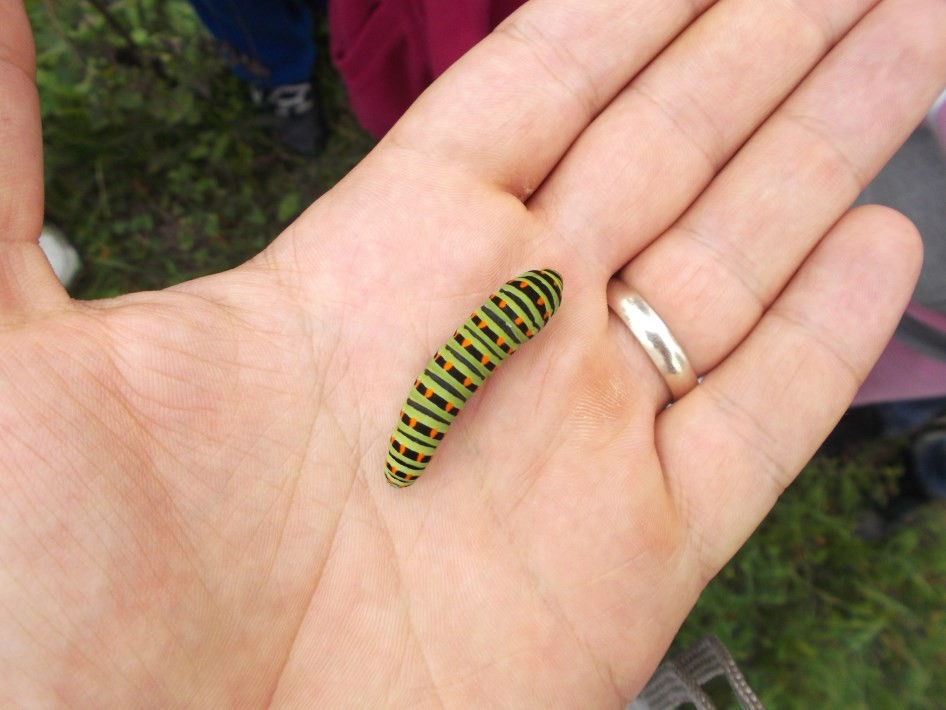 larva di Papilio machaon