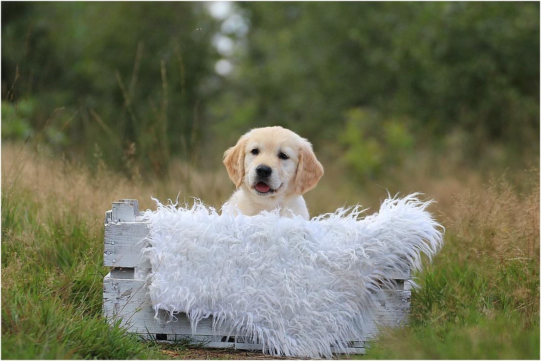 Crazy Cutie of Barnsley Gold (Soof)