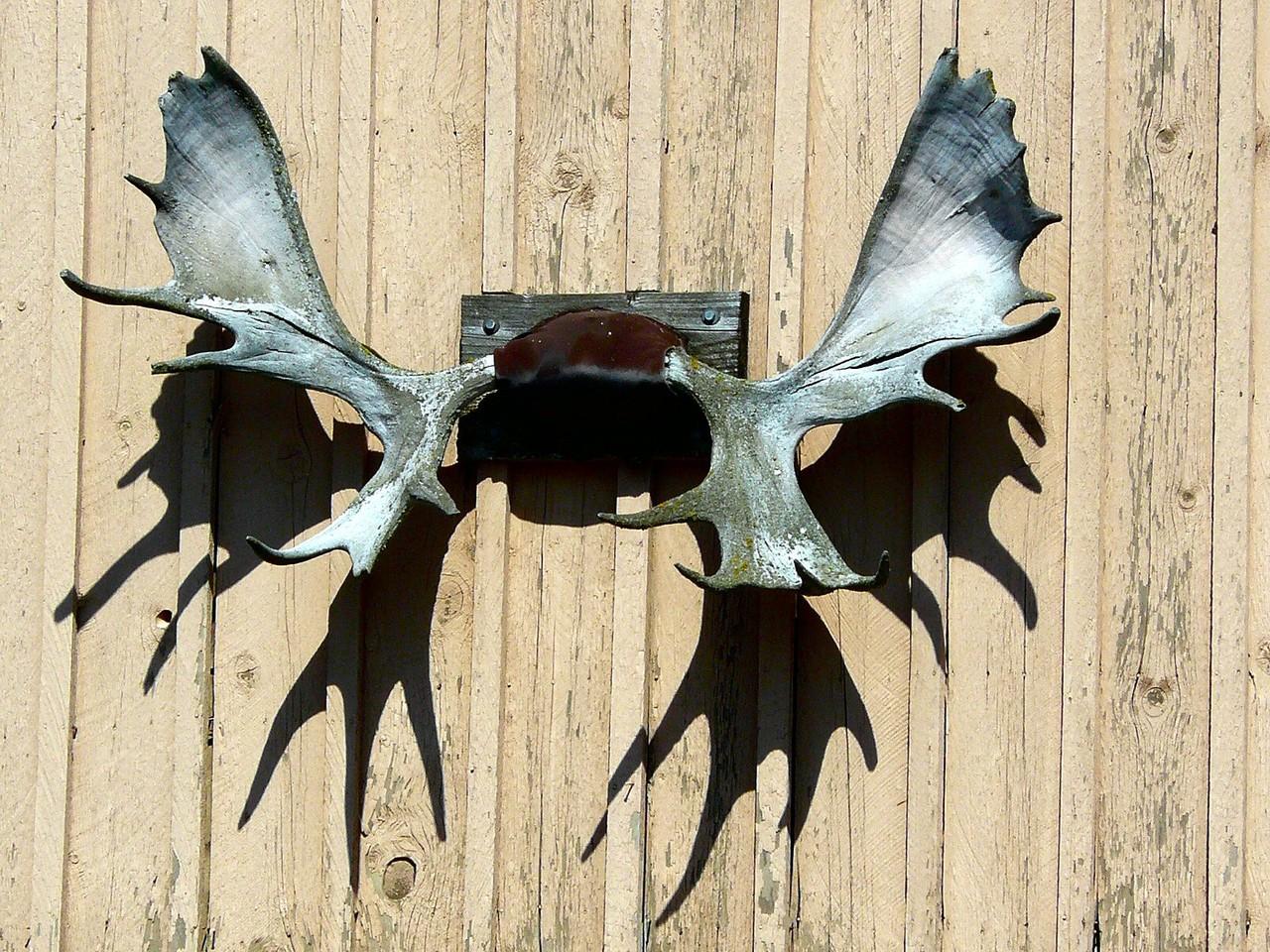 <B>Moose horn