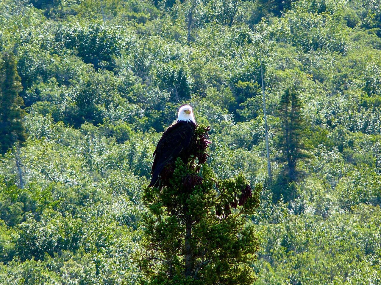 <B>Ein Weisskopf-Seeadler, das Wappentier der USA