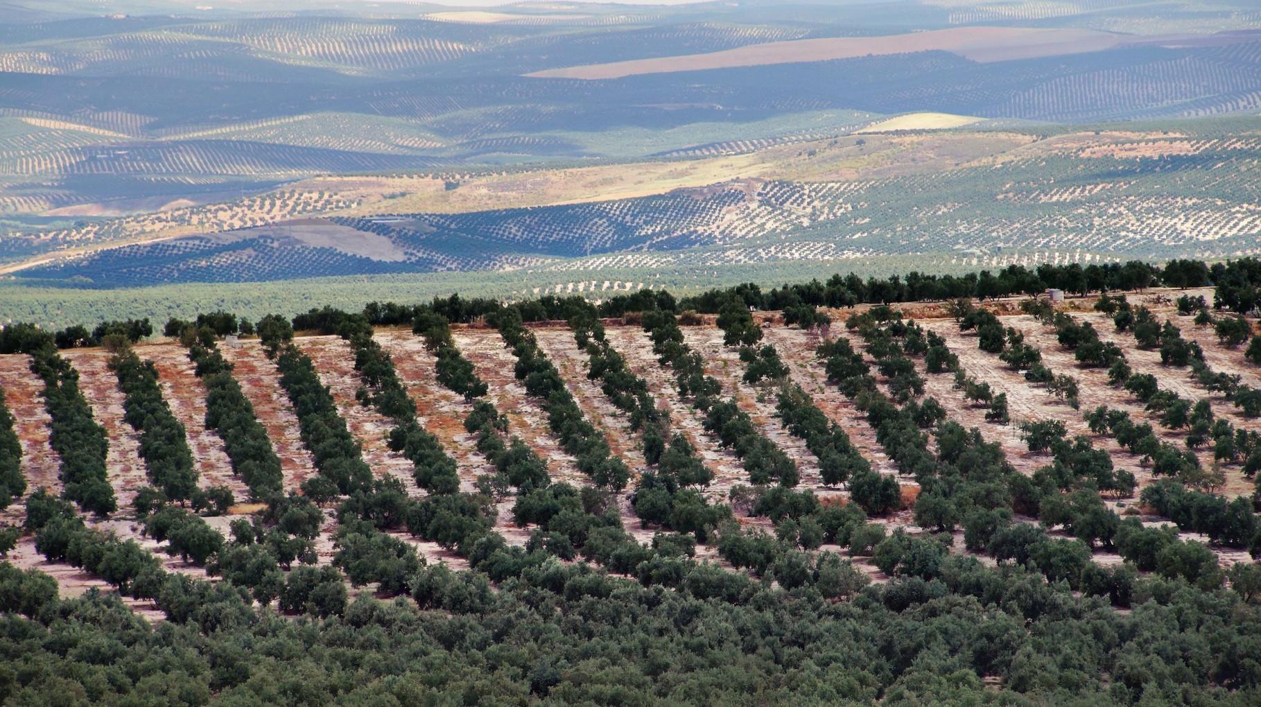<B>Im Gebiet von Jaen gibt es Olivenbäume soweit das Auge reicht.</B>