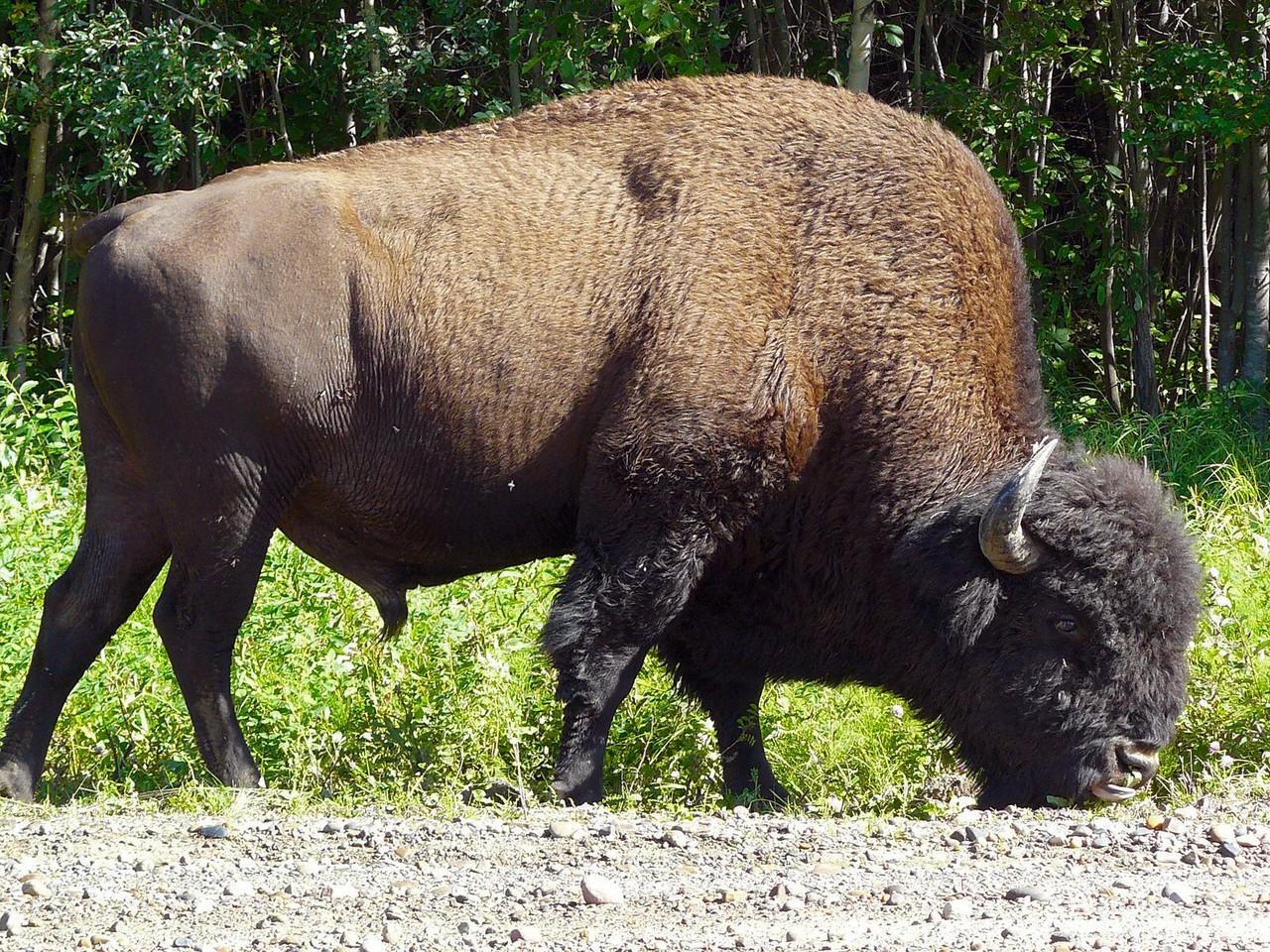 <B>Bison crossing