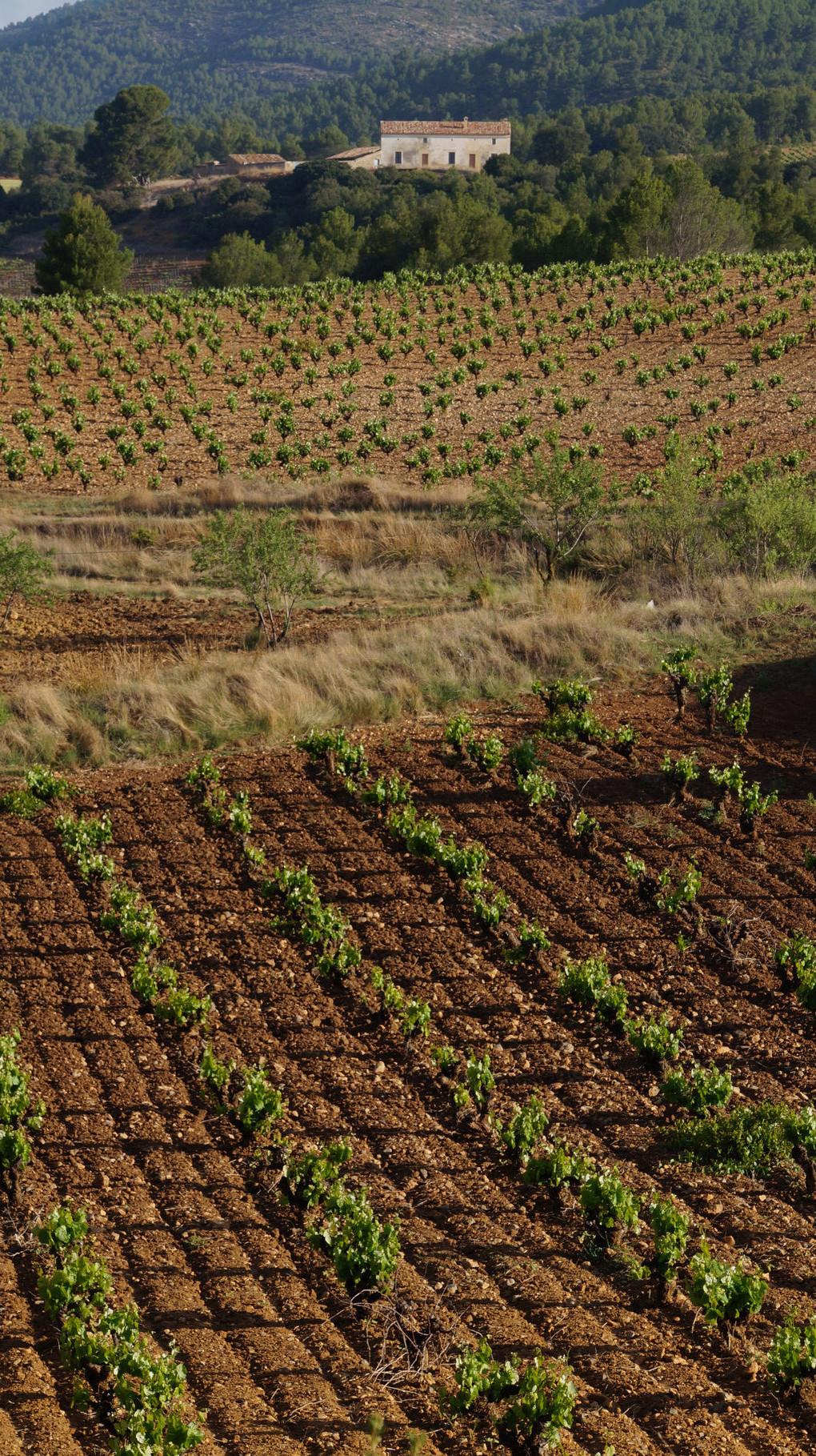 <B>Der Weinbau ist von großer Bedeutung für die spanische Wirtschaft, denn das Land hat die größte Rebanbaufläche der Welt.</B>