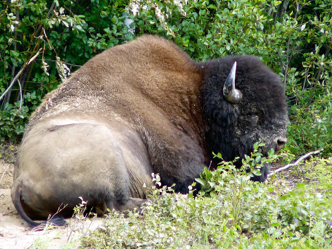 <B>Ein stattlicher Bison hat sein Plätzchen für den Mittagssschlaf gefunden