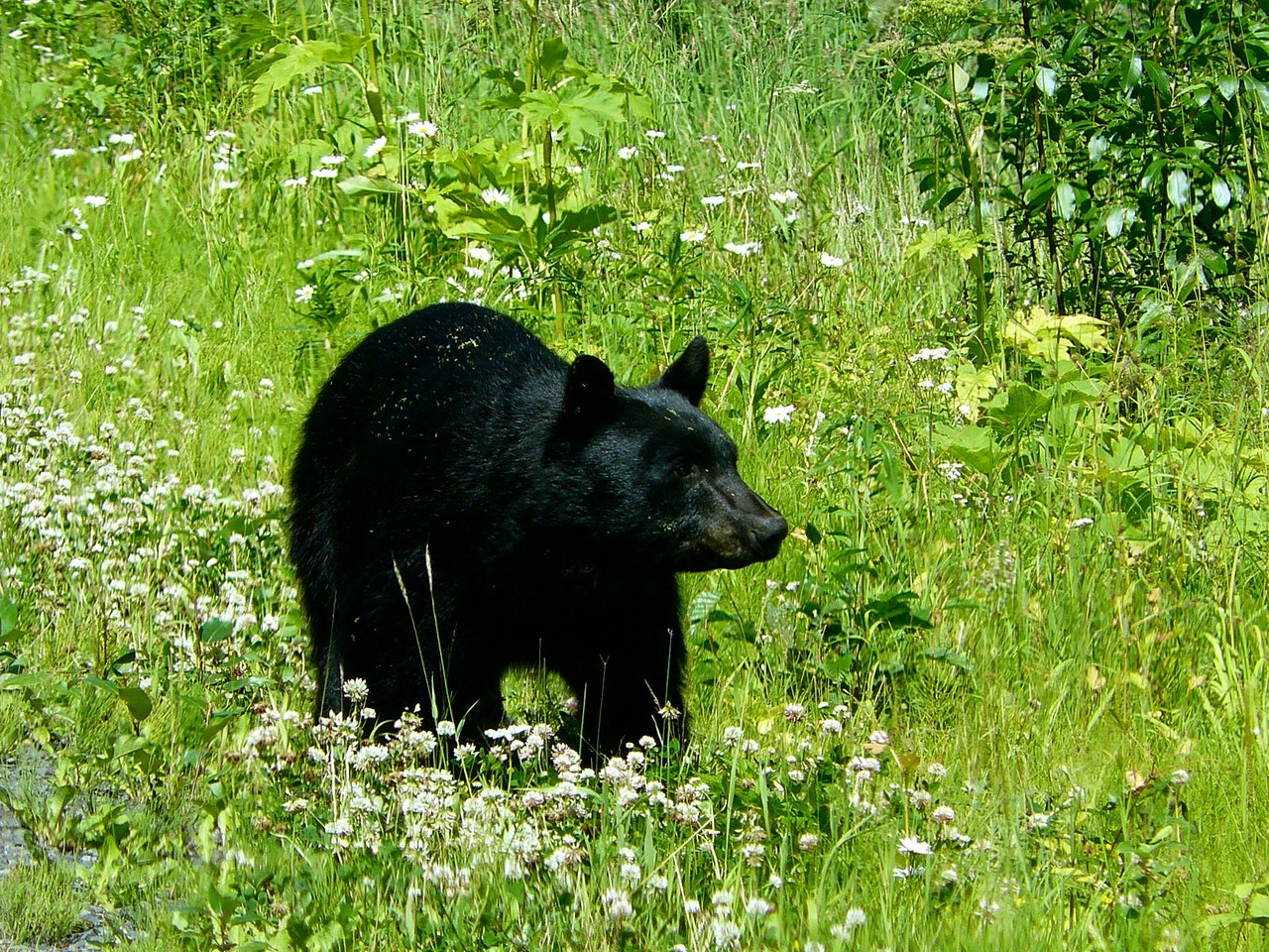<B>Ein Schwarzbär, immer auf Futtersuche