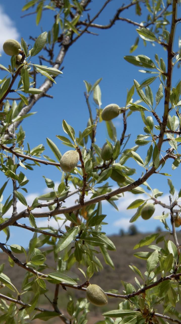 <B>Mandelbäume sind in jeder Hinsicht genügsam und robust, was sie zu einem idealen Gewächs für karge, trockene Böden macht.</B>
