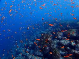 井田ブルーを彩るキンギョハナダイの大群。