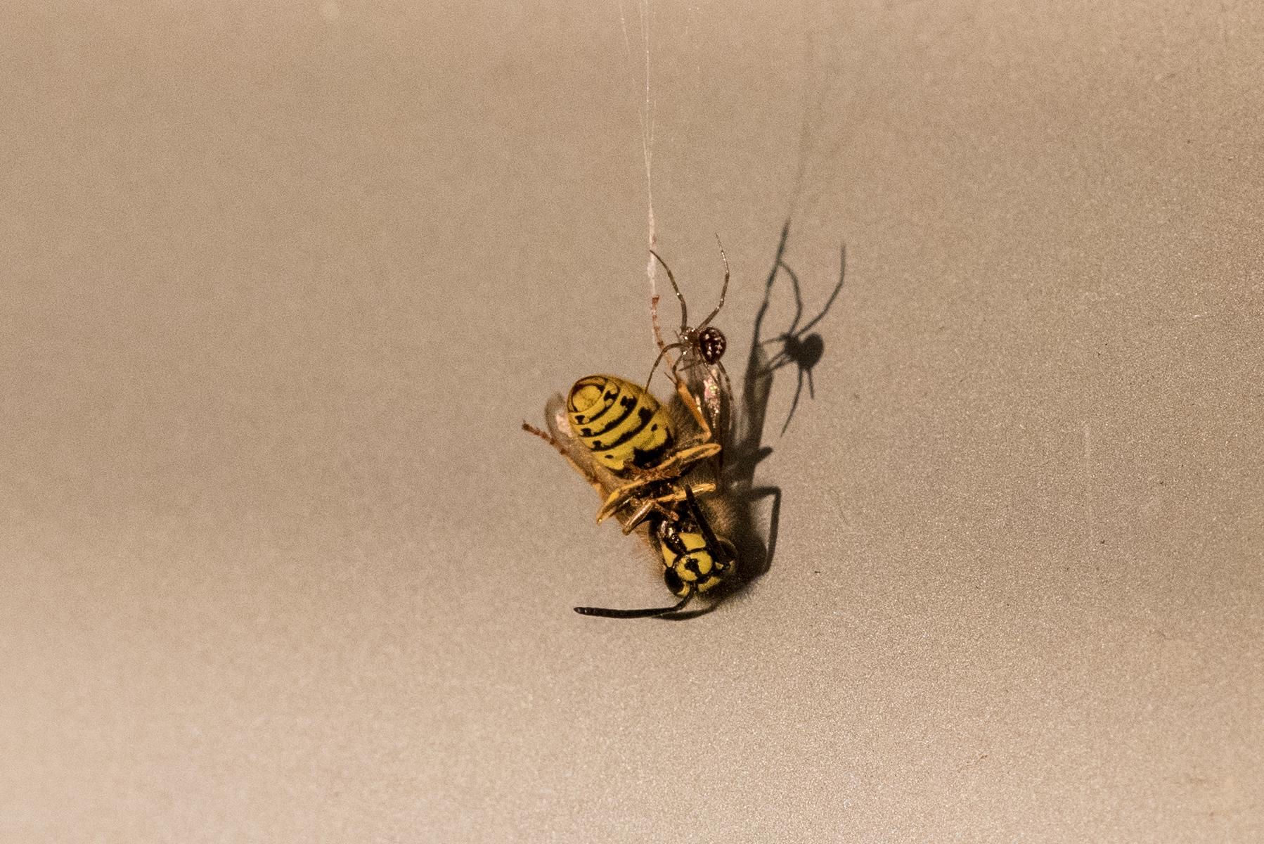 Tod einer Wespe oder klein David gegen klein Goliath