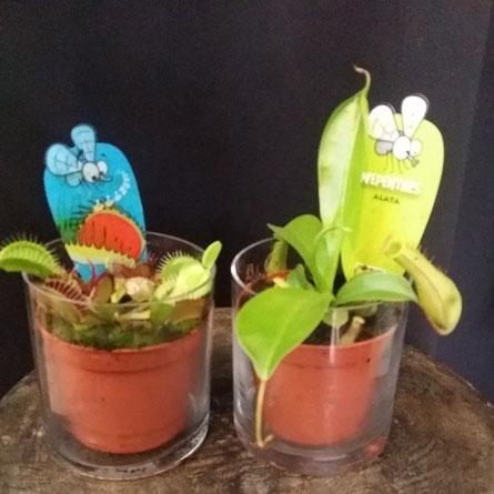 Disponemos de plantas carnívoras dionea , Nepenthes.