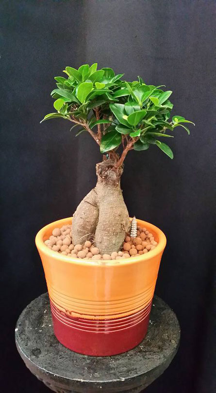 Enviar un Bonsai a domicilio.