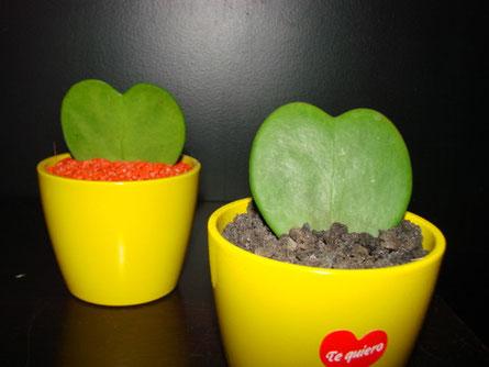 Cactus hoya en forma de corazón.