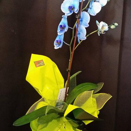 Orquídea Phalaenopsis azul, te la mandamos a casa el mismo dia.