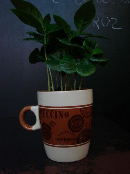 Cafeta arabica.