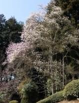 準絶滅危惧種絶滅危惧Ⅱ種東海丘陵要素植物食事日本固有種しでこぶしシデコブシ