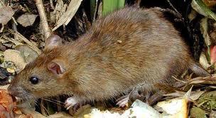 画像は「ドブネズミ」様から無断拝借させていただきました。 http://dobunezumi.etc64.com