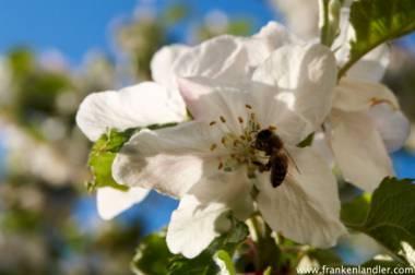Unterschied Wespe Biene