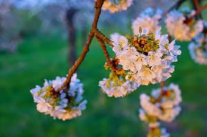 Kirschblüte Nürnberg