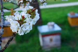 Kirschblüte Kalchreuth