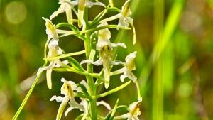 Orchideen Fränkische Schweiz