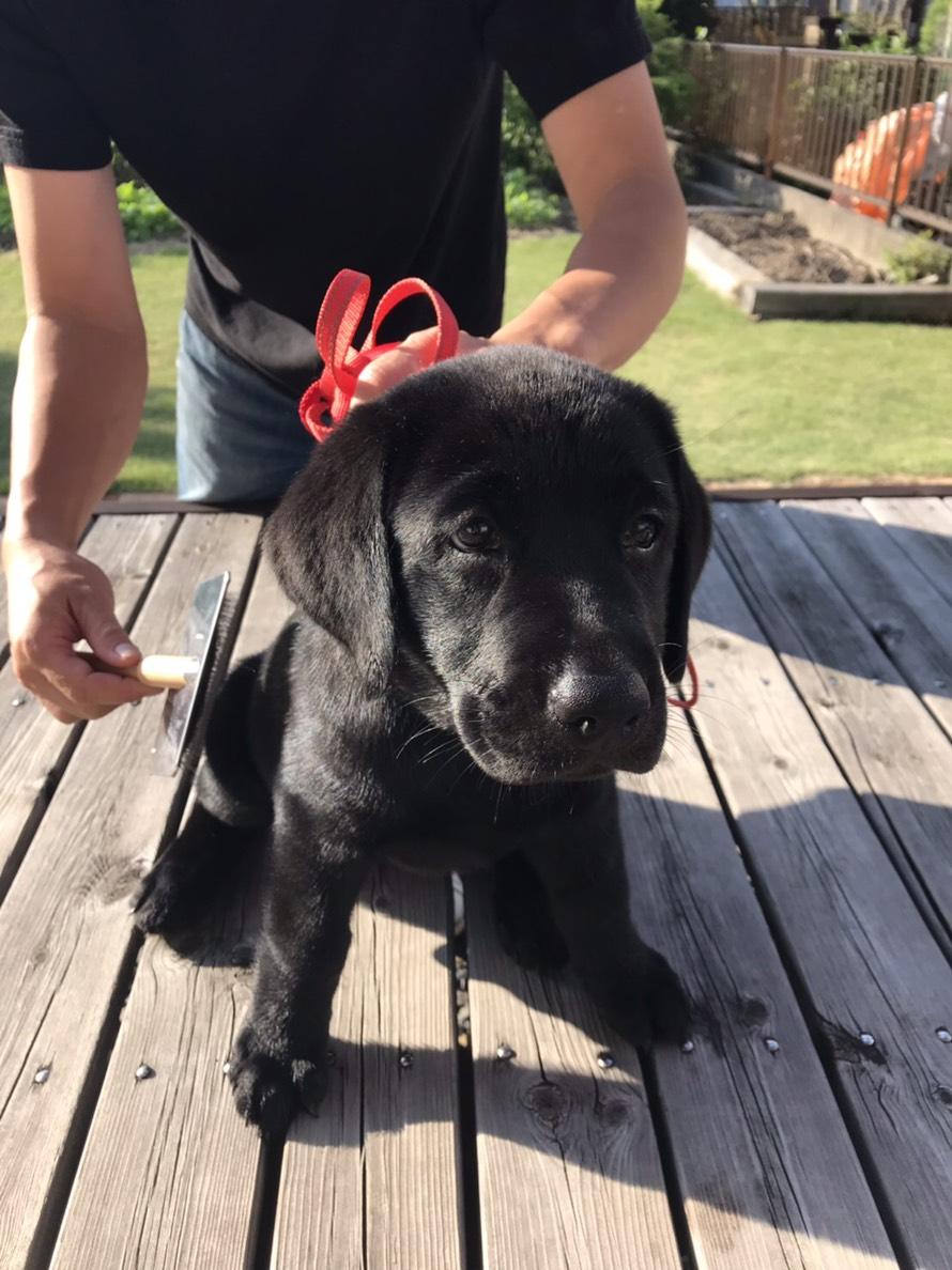 ラブラドール初めて飼育のオーナーさん、ハッピーちゃんです