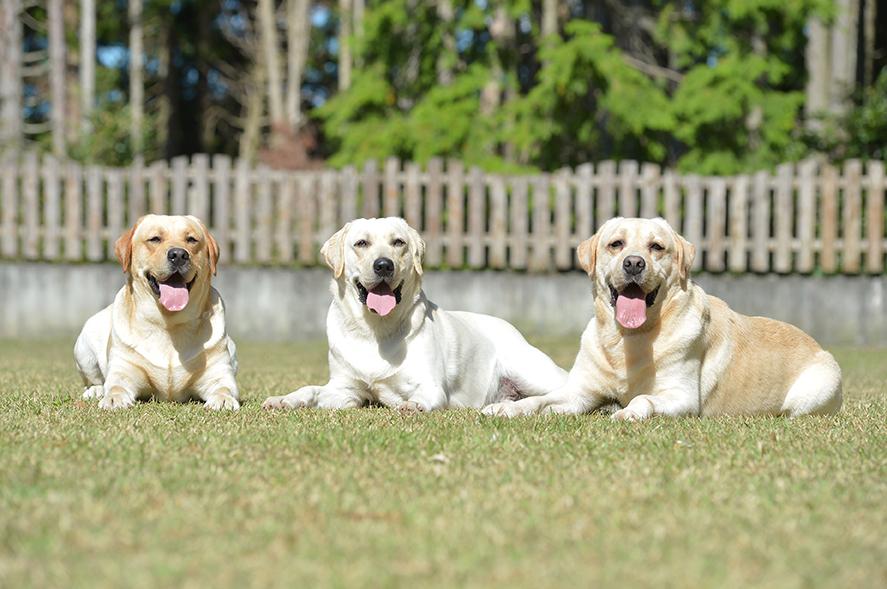 種犬3頭 左から ショーマ、ラルク、サントス