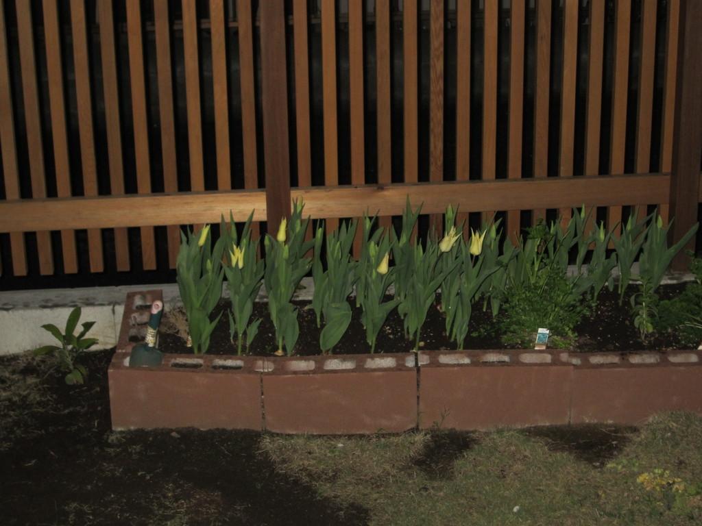 庭のチューリップが咲き始めました