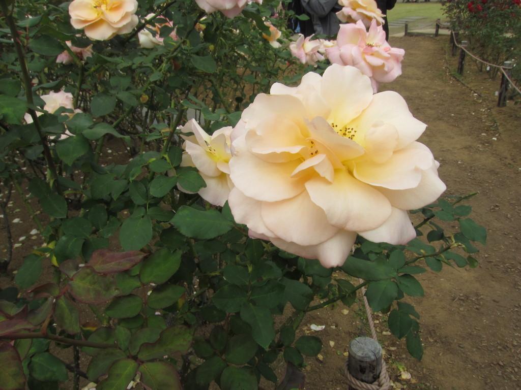 中央に向かって色が変わっていくバラ