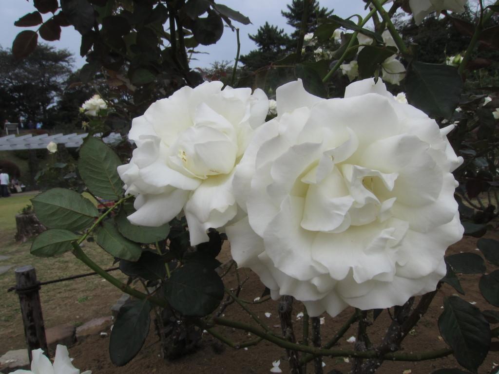白いバラもいいね