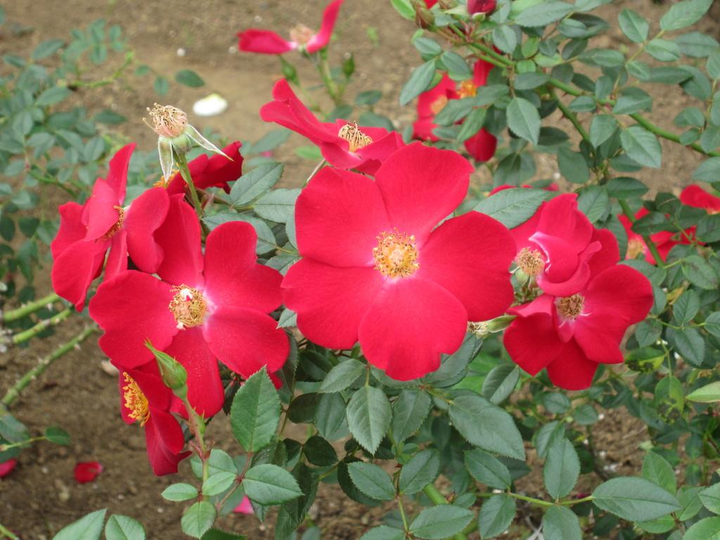 花びらが5枚しかないバラ。原種?