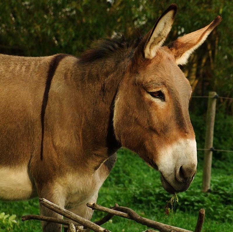 Hausesel Lucien aus dem Saarland 301 kg