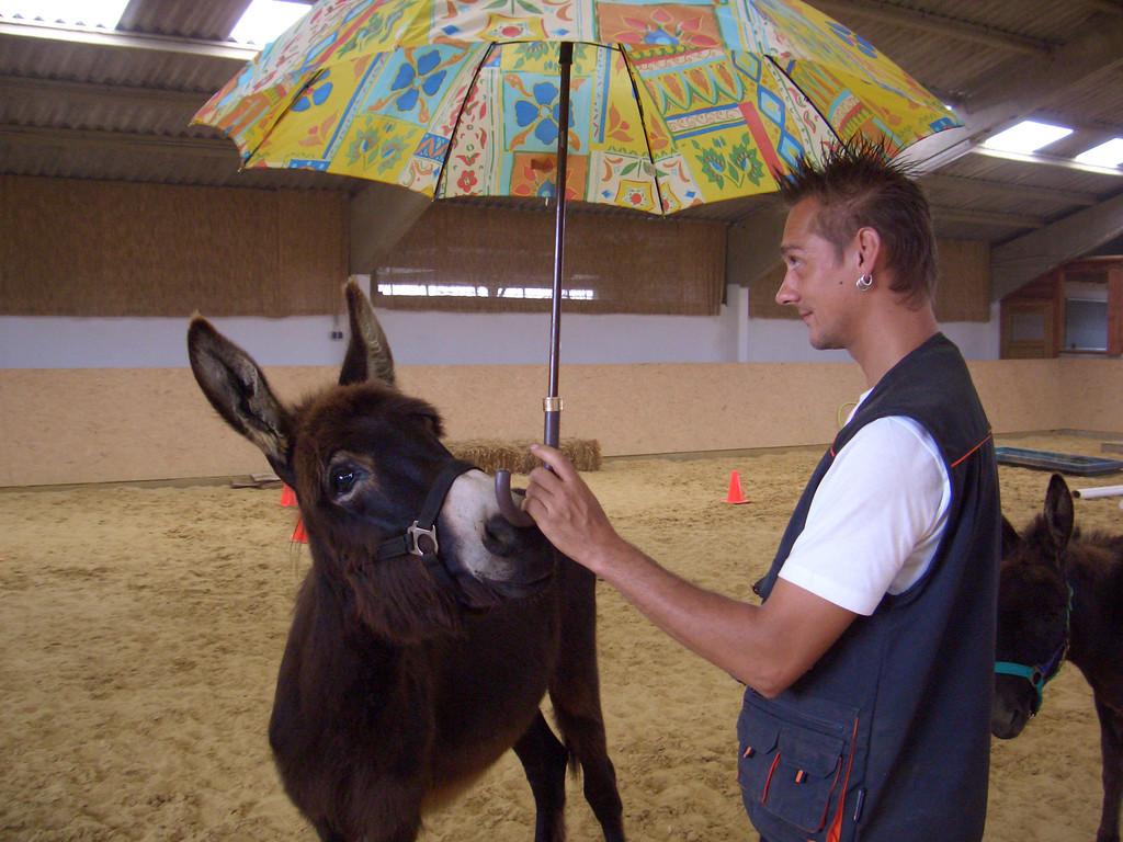 Benny Jung trainiert mit dem einjährigen Eselhengst Le Chaim