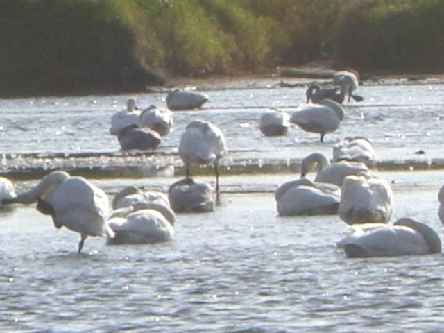 伊豆沼に飛来する渡り鳥