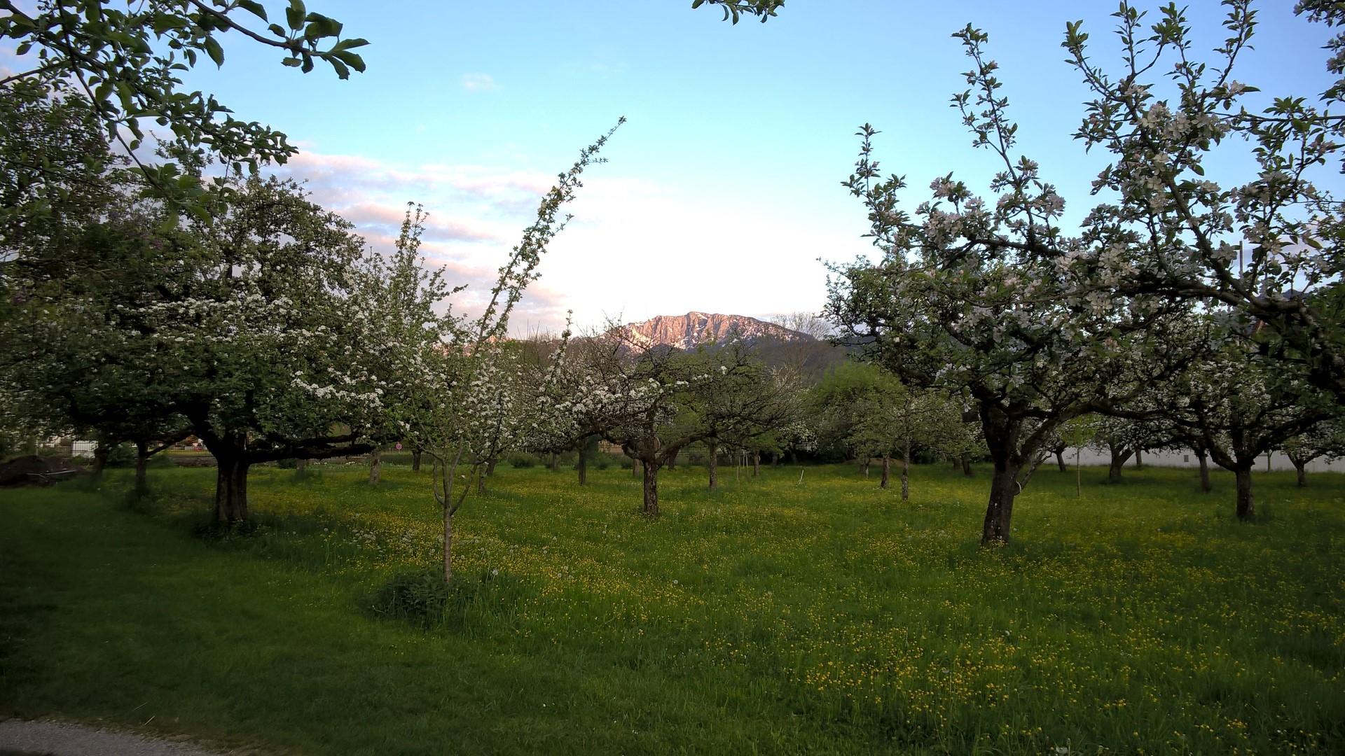 Ein Obstgarten im Abendlicht
