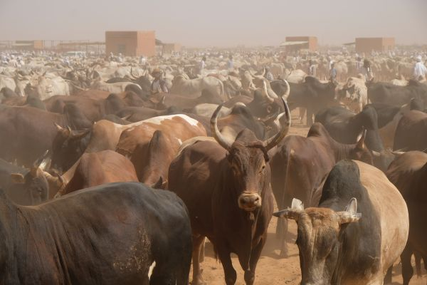 neben dem Kamelmarkt ist auch eine riesiger Viehmarkt