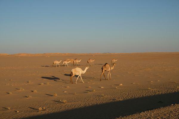 wilde Kamele begegnen uns nicht nur einmal