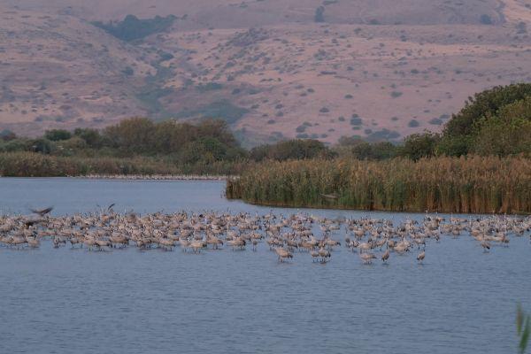 Hula Valley - ein Stop der tausenden Vögel auf dem Weg nach Afrika