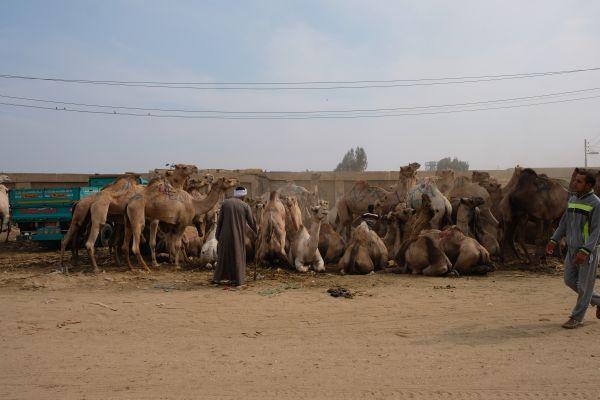 Kamelmarkt in der Nähe von Cairo - ein schreckliches Erlebnis, da die Kamele hier blutig geschlagen werden