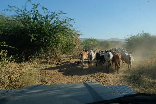 Das ist Äthiopien, selbst auf der Safari begegnen wir den Kuhherden