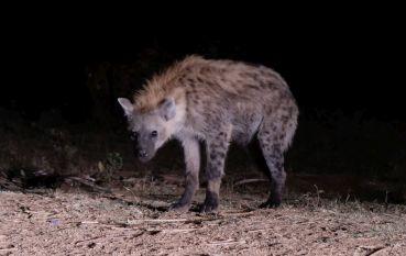 Harar ist bekannt für die abendliche Hyänenfütterung außerhalb der Stadt - uhrsprünglich um das Vieh zu schützen, jetzt eher für die Touristen :)