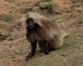 Gelada Affen findet man hier viele - die entspanntesten Affen die wir je gesehen haben