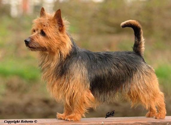 Australian Terrier Rüde Multi Ch. Lesnoy's Gentle Jack Sparrow