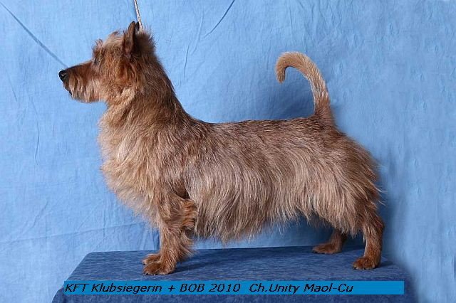 Australian Terrier Hündin Multi Ch. Unity Maol-Cu