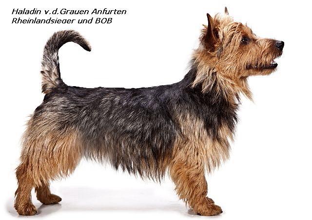 Rheinlandsieger +BOB Australian Terrier Rüde Haladin von den Grauen anfurten
