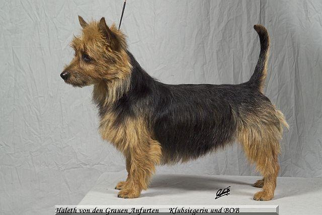 Klubsiegerin und BOB  Australian Terrier Harleth von den Grauen Anfurten